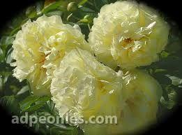 Image result for peony lemon chiffon