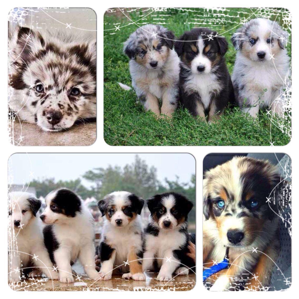 Australian Shepherd puppy's
