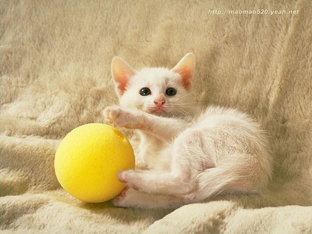 HD Wallpaper And Background Photos Of Cute Kitten For Fans Kittens Images