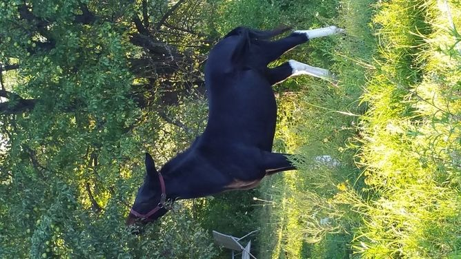 Big gentle girl does it all | HorseClicks