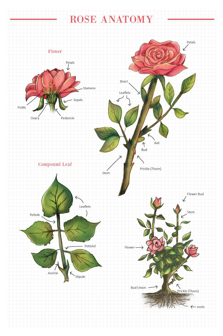 Rose Anatomy (With images) Flower anatomy, Flower