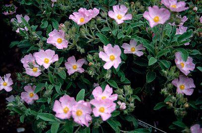 Cistus X Lenis Grayswood Pink Agm Was Known As C Parviflorus