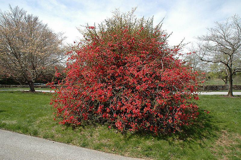 texas scarlet flowering quince chaenomeles speciosa 39 texas scarlet 39 in columbus dublin. Black Bedroom Furniture Sets. Home Design Ideas