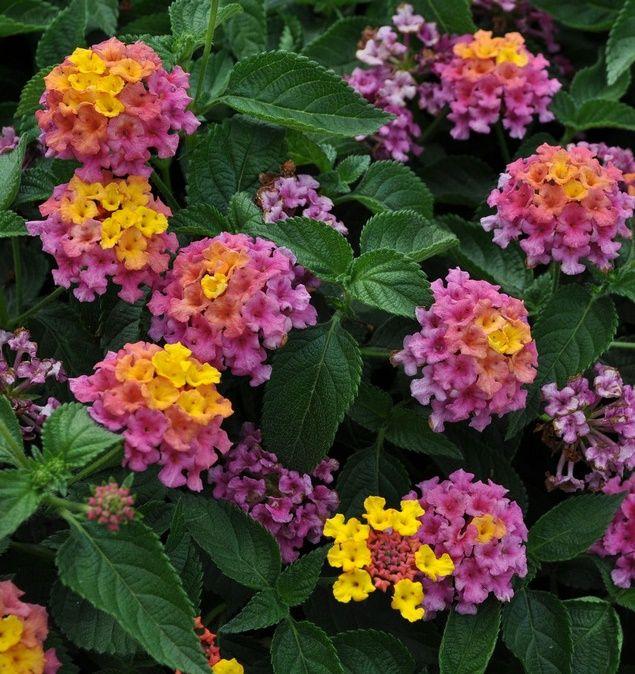 Bandana Rose Improved Lantana Monrovia Bandana Rose Improved Lantana Annual Flowers Lantana Ornamental Plants