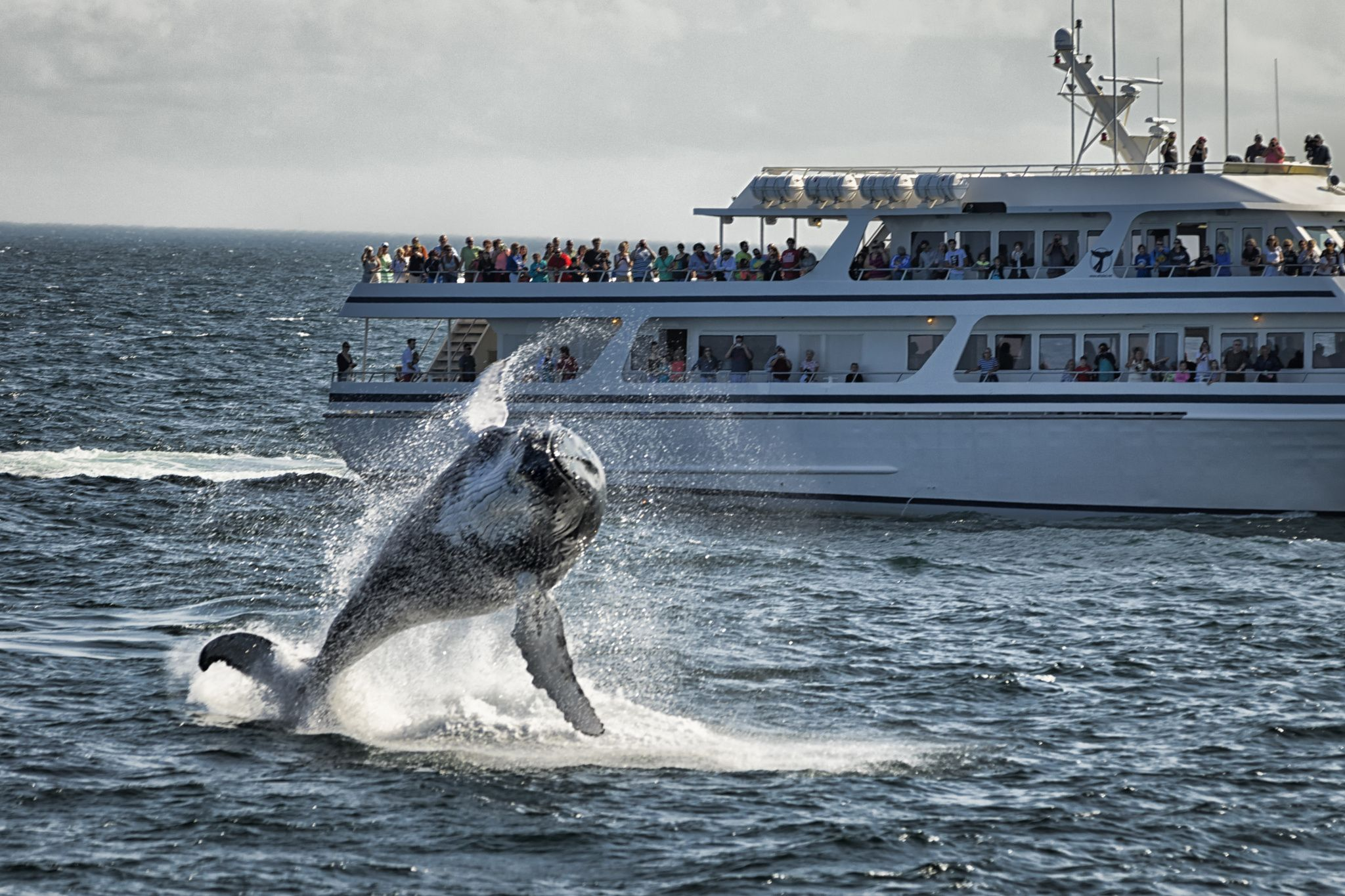 Whale breaching water. - Whale breaching water in front of a boat.