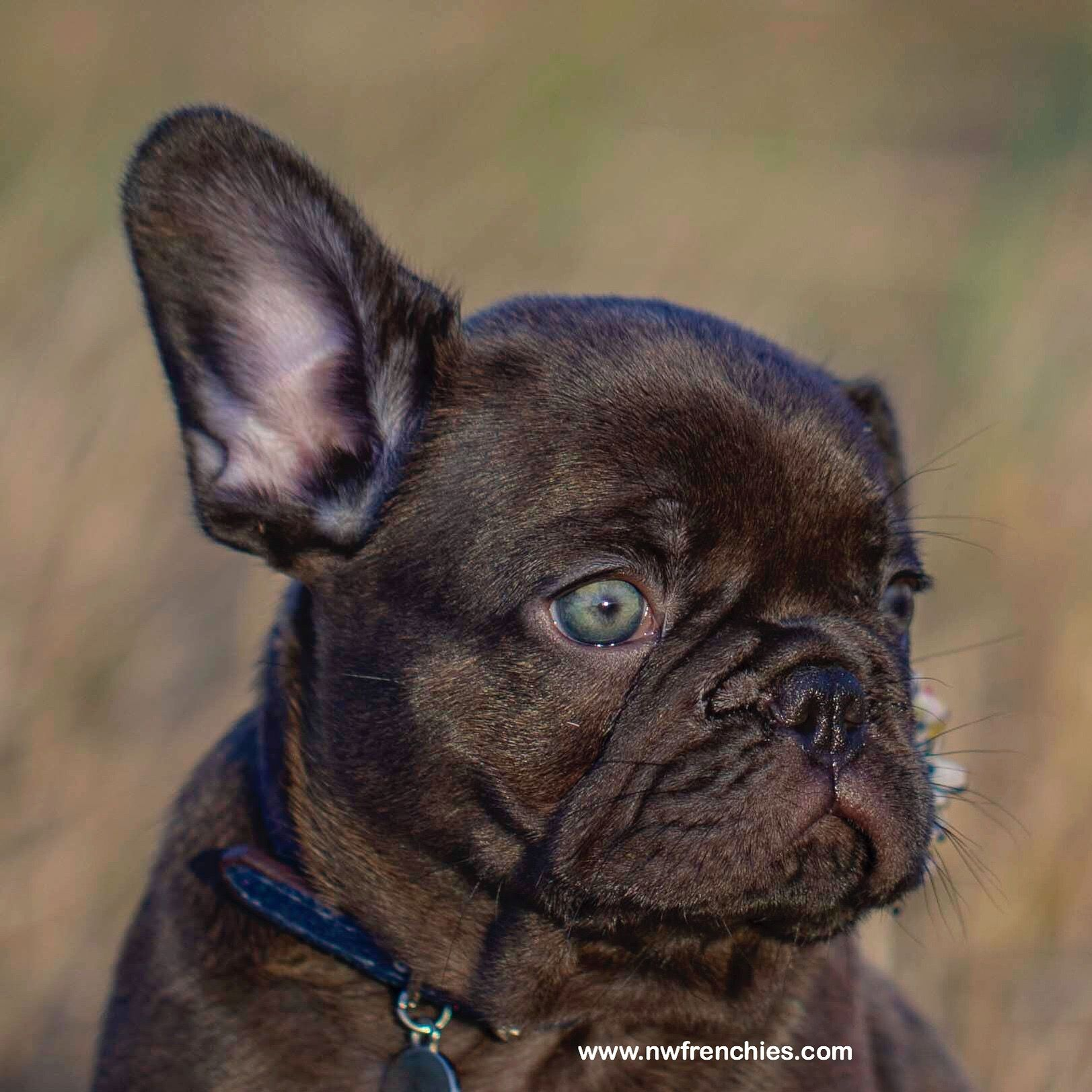 If interested in this Frenchie please submit my puppy