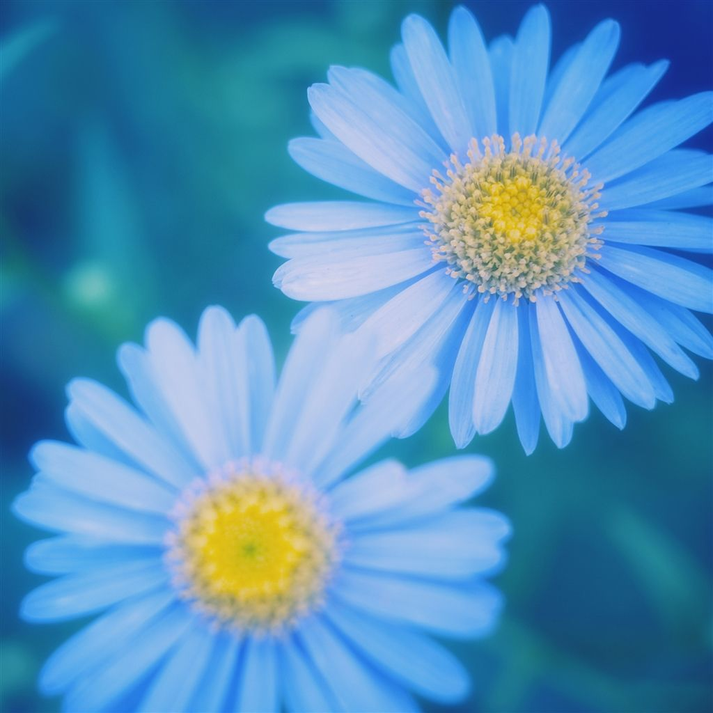 daisy iphone wallpaper blue daisies air wallpaper iphone 10480