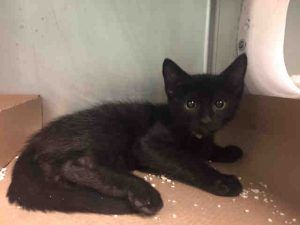 RIDLEY - A1113869 Super Urgent Shelter Cats  These animals are either high risk, injured or have previously appeared on the To Be Destroyed list and survived. They are in danger of being on the list again or destroyed without any further notice.