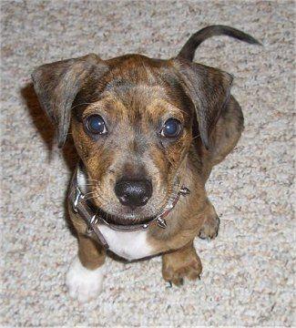 Bo Dach Puppy At 4 Months Old Boston Terrier Mini Dachshund Mix