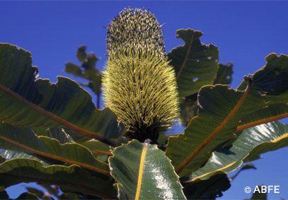 Banksia Robur Australian Trees Flower Remedy Flower Essences