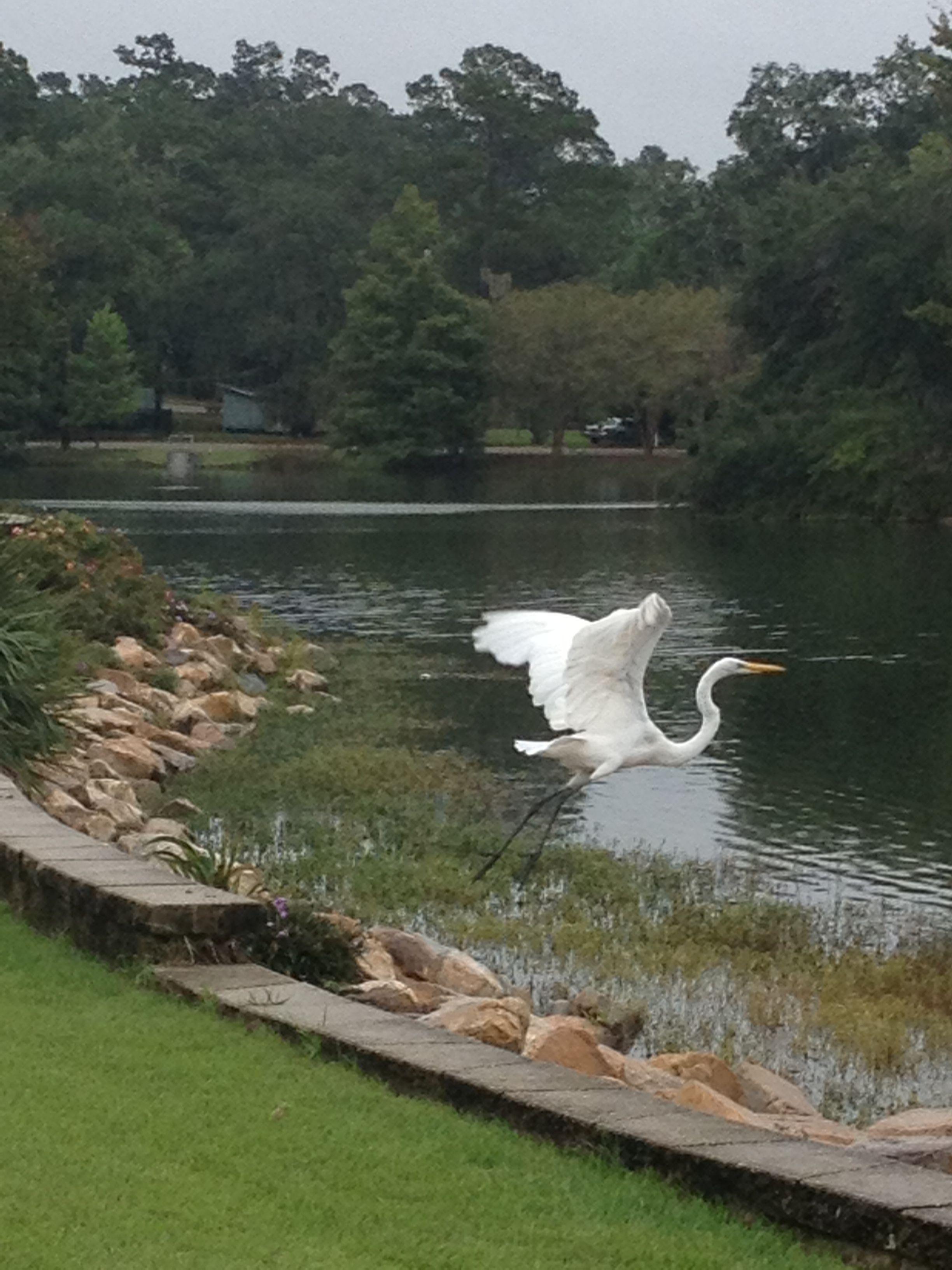 Great Egret At Lake Ella Tallahassee Fl Wildlife Natural Landmarks Tallahassee