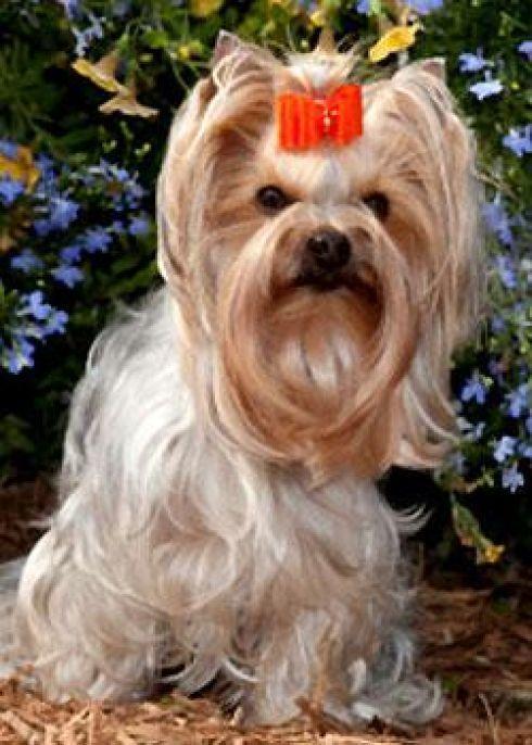 Yorkshire Terrier cutie pie #yorkshireterrier