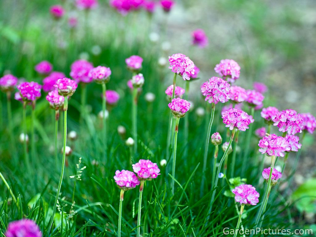 Armeria Maritima Pink Flower I Love These Flowers Pink Flower Photos Flower Meanings Beautiful Flowers