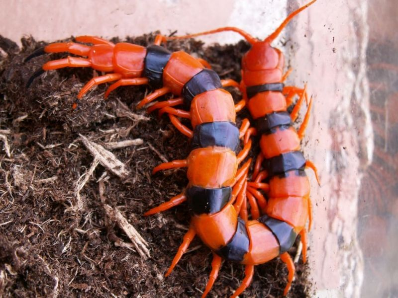 Indian Giant Tiger Centipede (scolopendra hardwickei) ... Amazing colors!!!