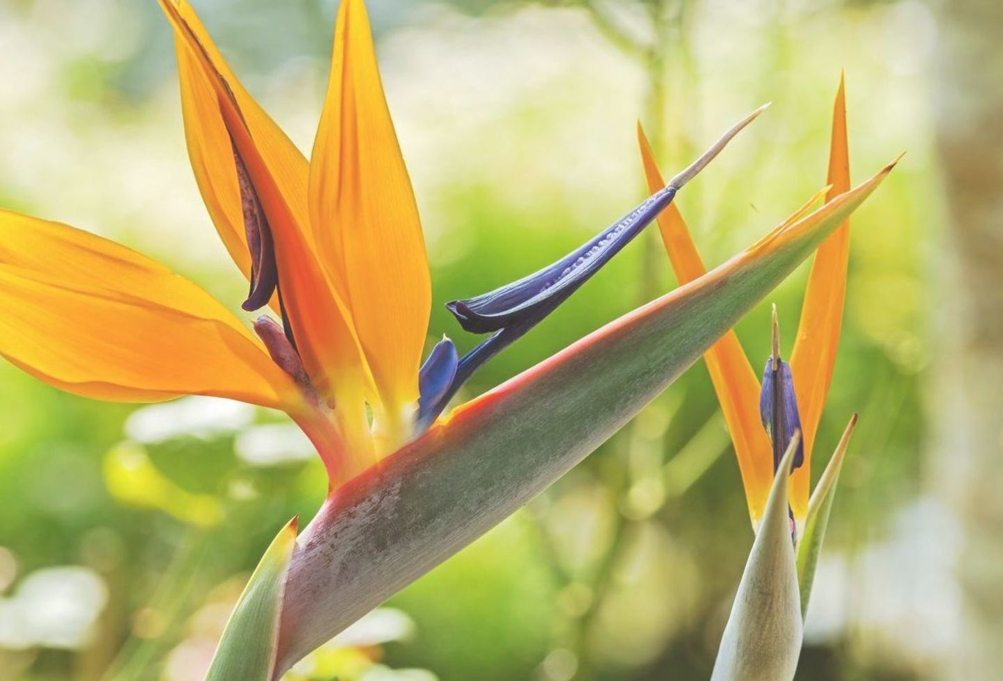 Strelitzia Bird Of Paradise Growing Conditions For Bird Of Paradise Flowers Aufbewahrung Sommer