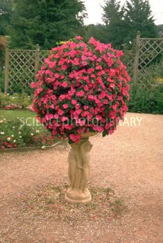 container plants | Container of bedding plants - Stock Image B916/0083 - Science Photo ...