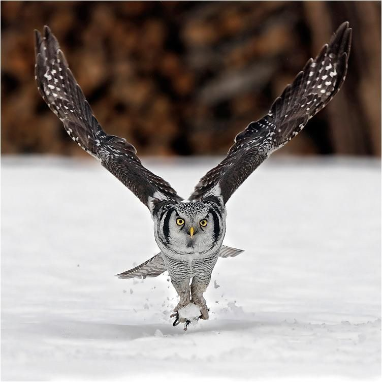 Northern Hawk Owl. - Pixdaus