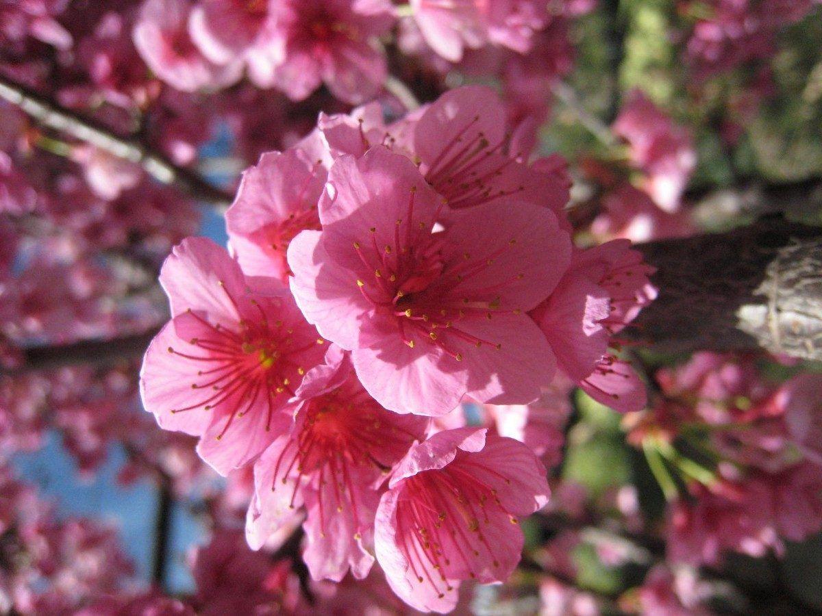 Cerezo_Sakura