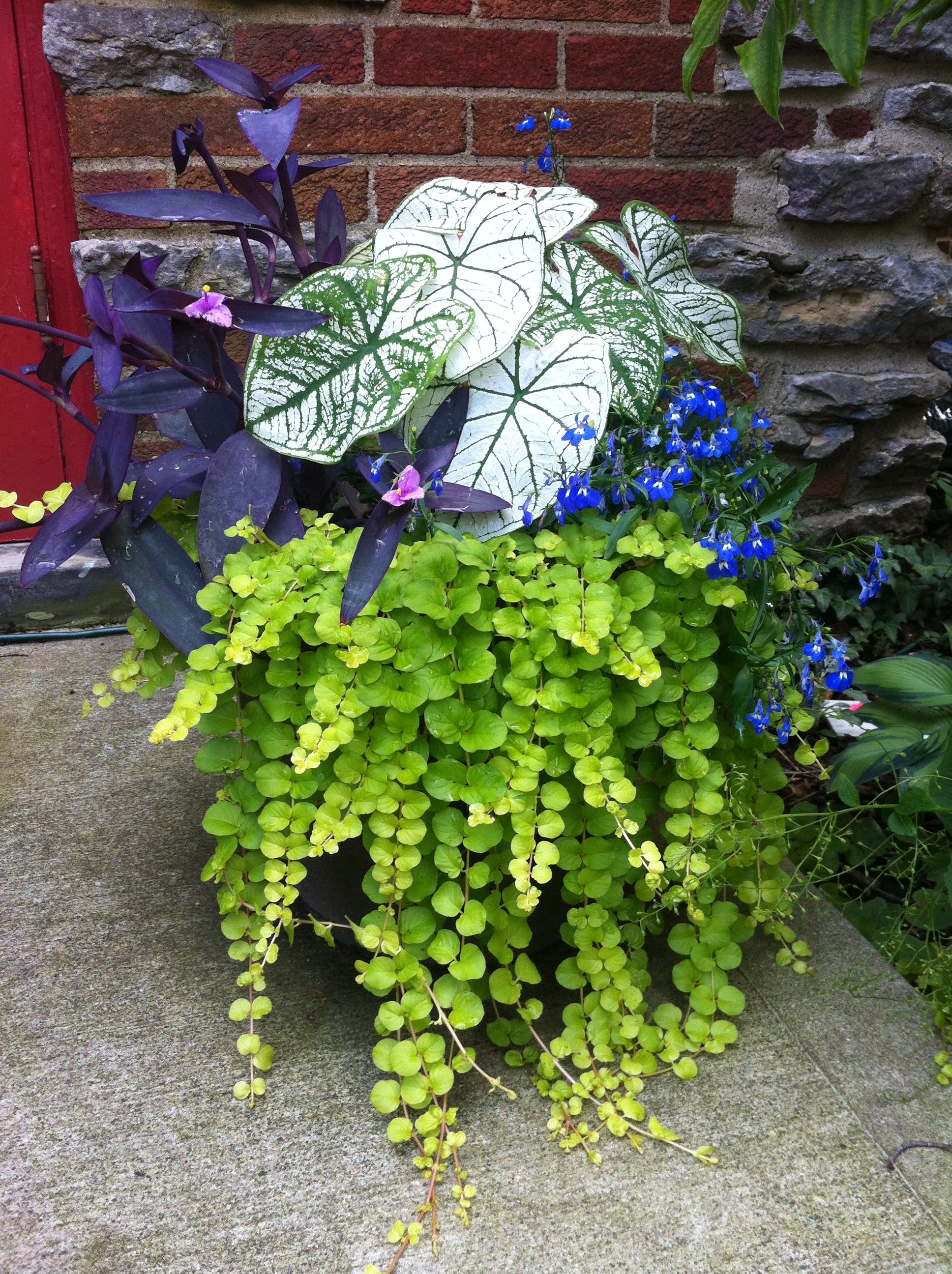 Caladium Lobelia Creeping Jenny And Purple Wandering