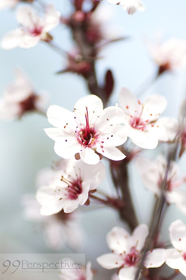 Cherry Blossom Facts Pink Blossom Tree Cherry Blossom Flowers Cherry Blossom Tree