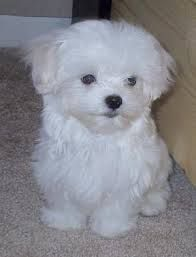 Very Small Dogs That Stay Small Forever Google Search Maltese