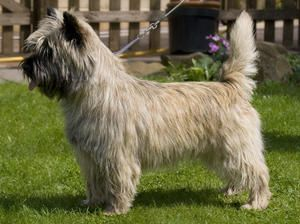 The Cairn Terrier Originated In The Highlands Of Scotland And The