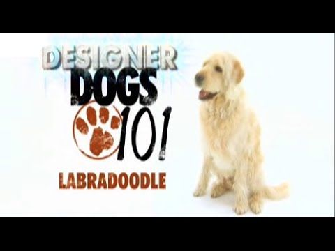 Dogs 101 Labradoodle Eng Youtube Labradoodle Dogs 101 Dogs