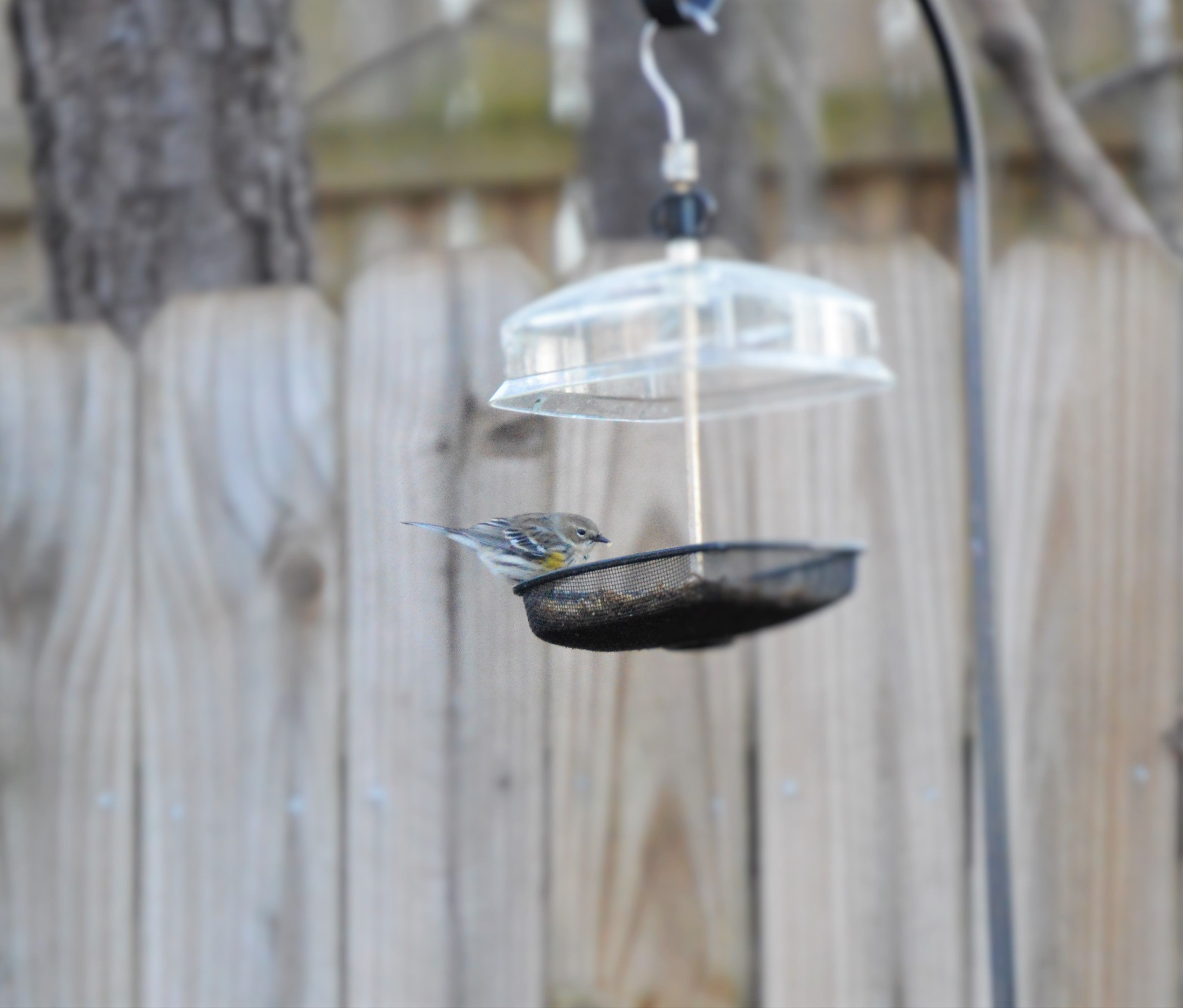 love the winter time in ole atl yellow rumped warbler enjoying