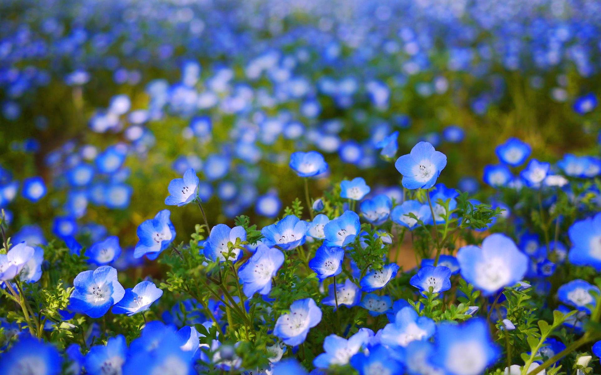 Blue Flowers 46683