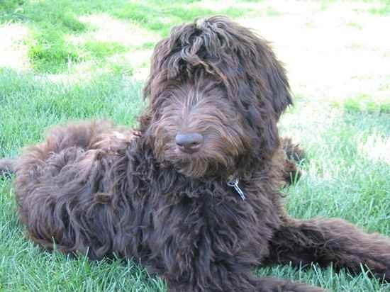 Newfypoo I Want To Own One Some Day Non Shedding Dogs Earthy
