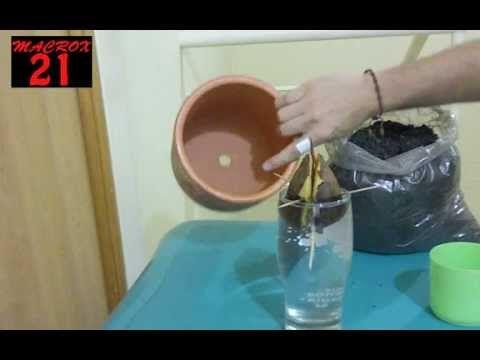 como germinar la semilla de aguacate y trasplantar (parte2