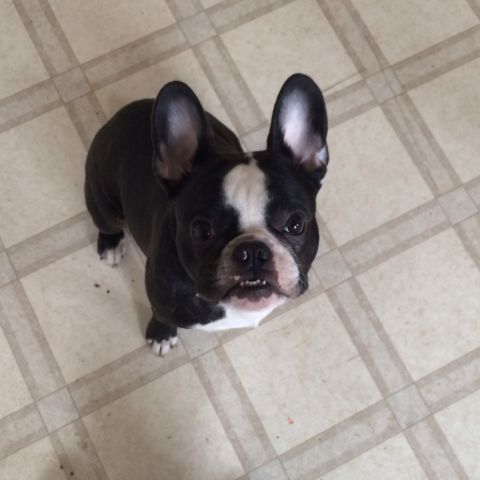 French Bull Dog Dogs Puppies For Rehoming Sarnia Kijiji