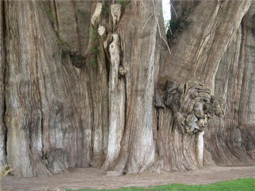 "The Tree of Tule, Ahuehuete Cypress, is one of the biggest and most spectacular trees in the world. It is about 140 feet tall, its trunk measuring more than 50 feet in diameter. It is also incredibly old - possibly as much as 3,000 years. Ahuehuete means ""old man of the water""."