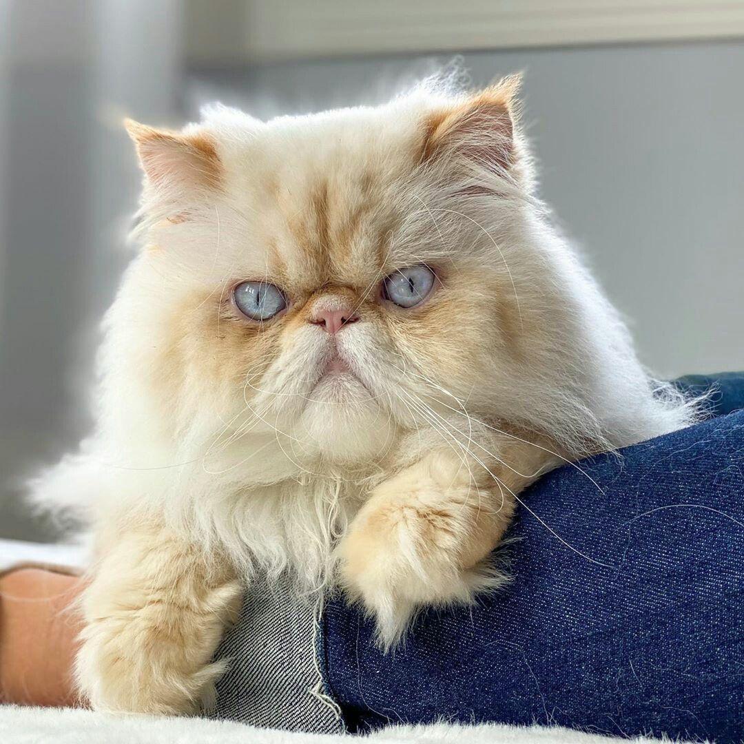 Pin Oleh Mt Di Cats Kucing Himalaya Kucing Hewan