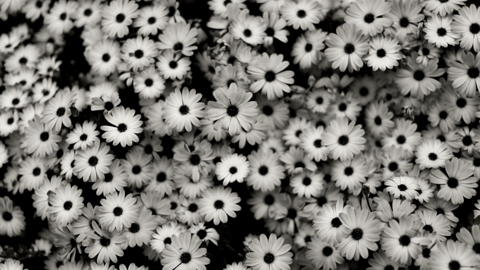 White Daisies Hd Wallpapers Hd Sharovarka Pinterest Black And White Flowers White Flower Wallpaper Black And White Background