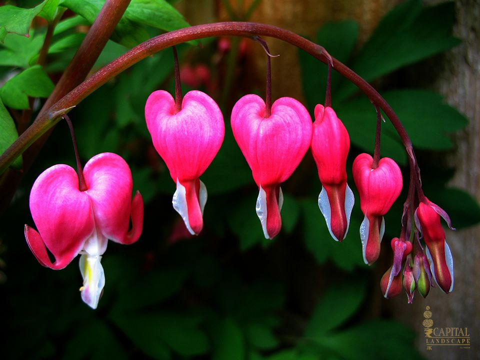 sacramento landscaping recommended shade plants bleeding heart capital landscape recommended plants for sacramentos zone 9 - Shade Garden Ideas Zone 9