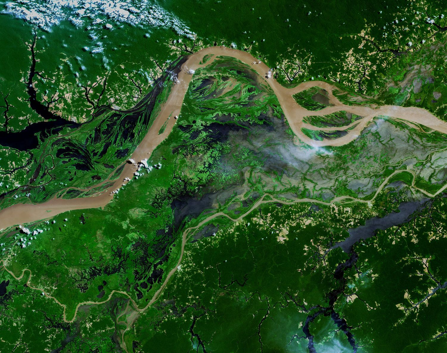 the amazon rainforest catuaba