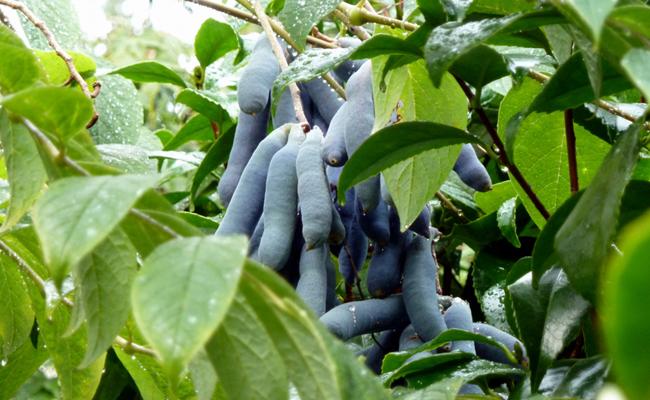 Arbre Aux Haricots Bleus Decaisnea Fargesii Aux Fruits Spectaculaires Arbre Arbuste Haricot