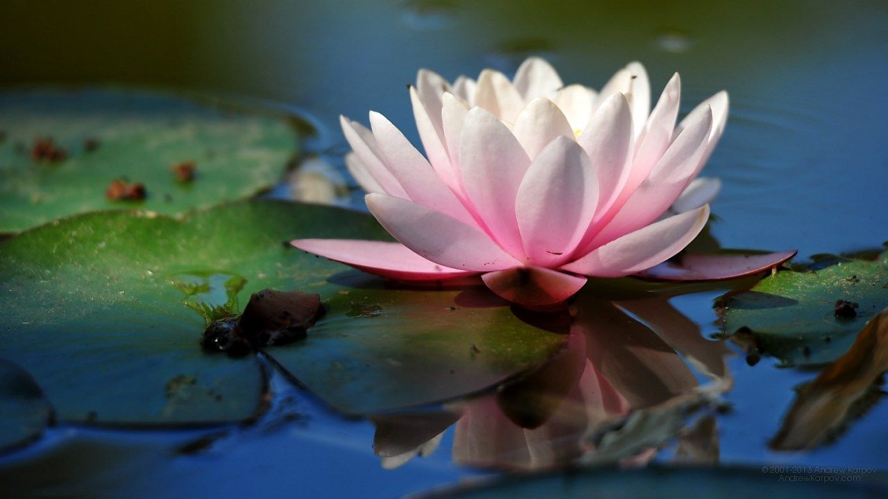 Beautiful Water Lily Flowers 1280 X 720 Background 1280x720 Free