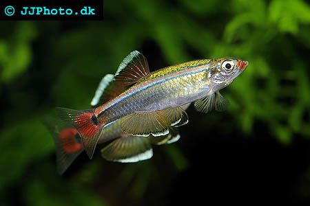 Detailed Aquarium Fish Profiles For Many Of The Tropical Fish We Keep Today The White Cloud Mount Aquarium Fish Freshwater Aquarium Fish Fresh Water Fish Tank