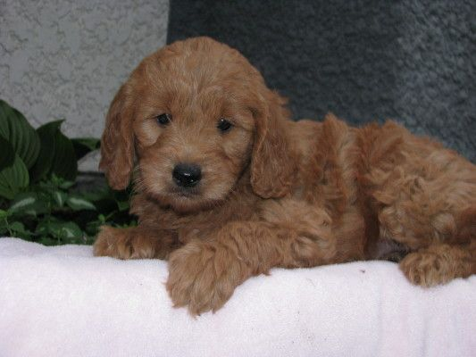 Mini Petite Goldendoodle Truelove Goldendoodles Mini