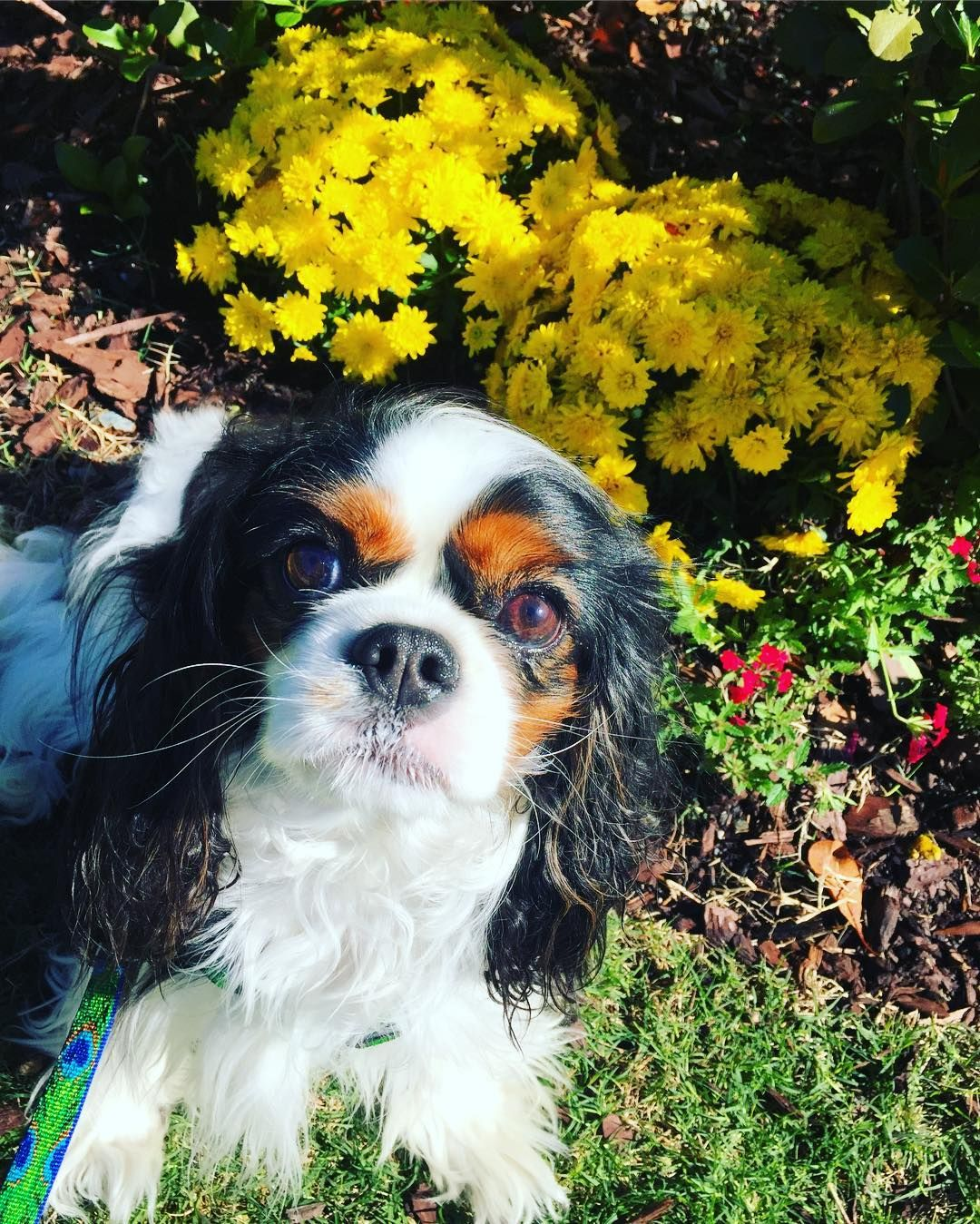 Milly King Charles Spaniel