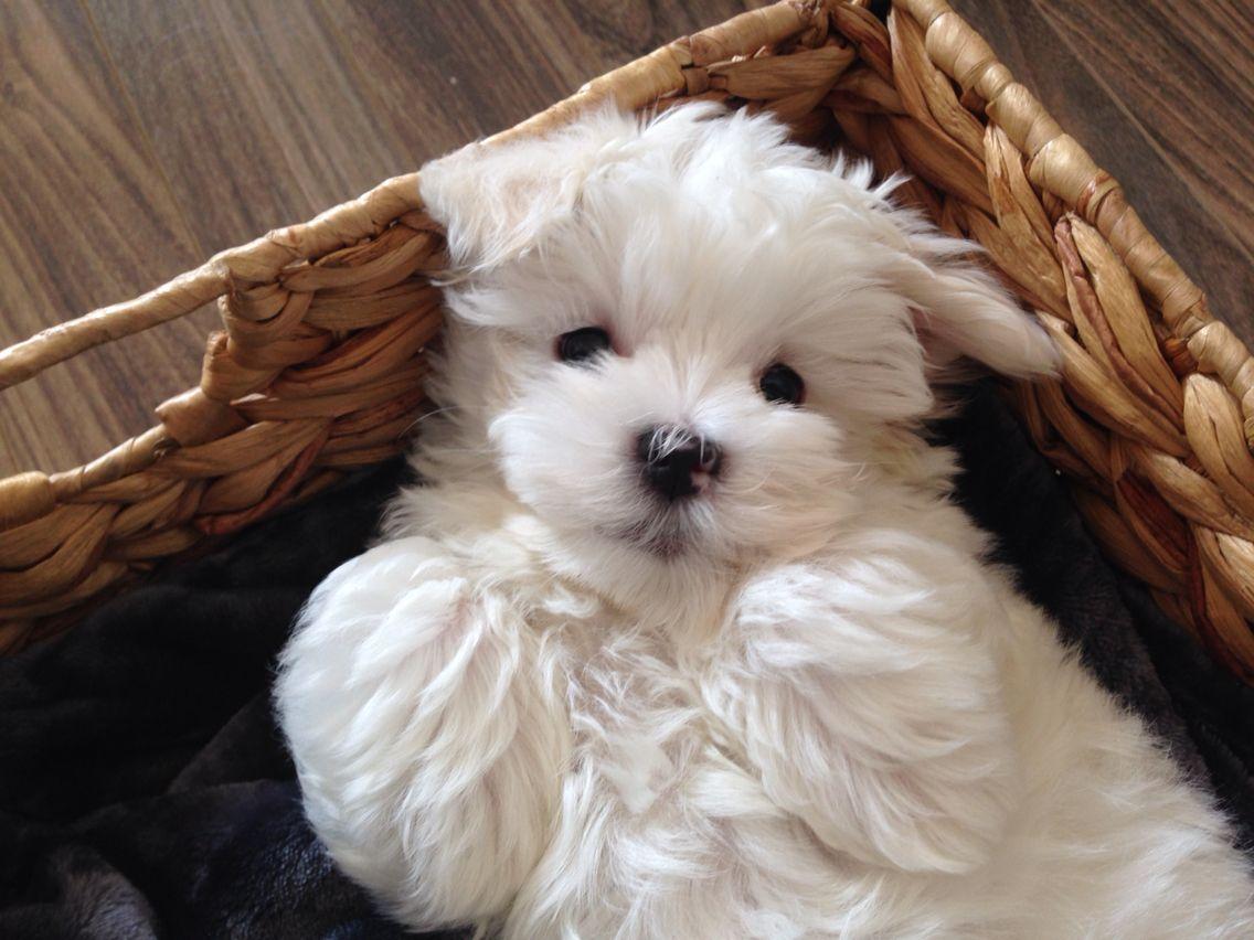 My Boy Milo Puppy Boy Teacup Puppies Maltese Cute Dogs