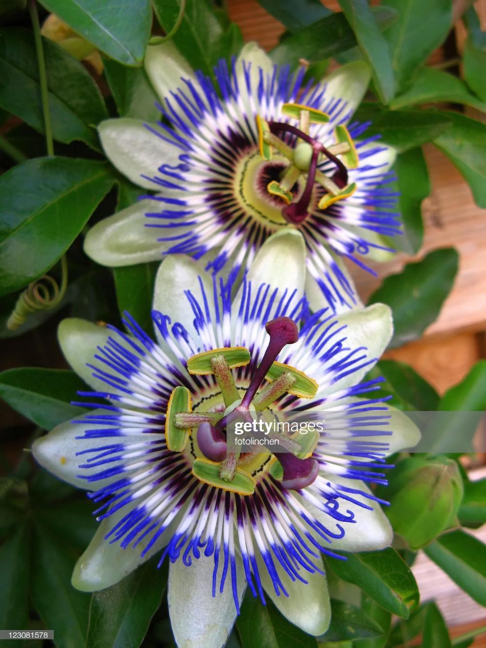 Passion Flowers In 2020 Passion Flower Passiflora Flowers