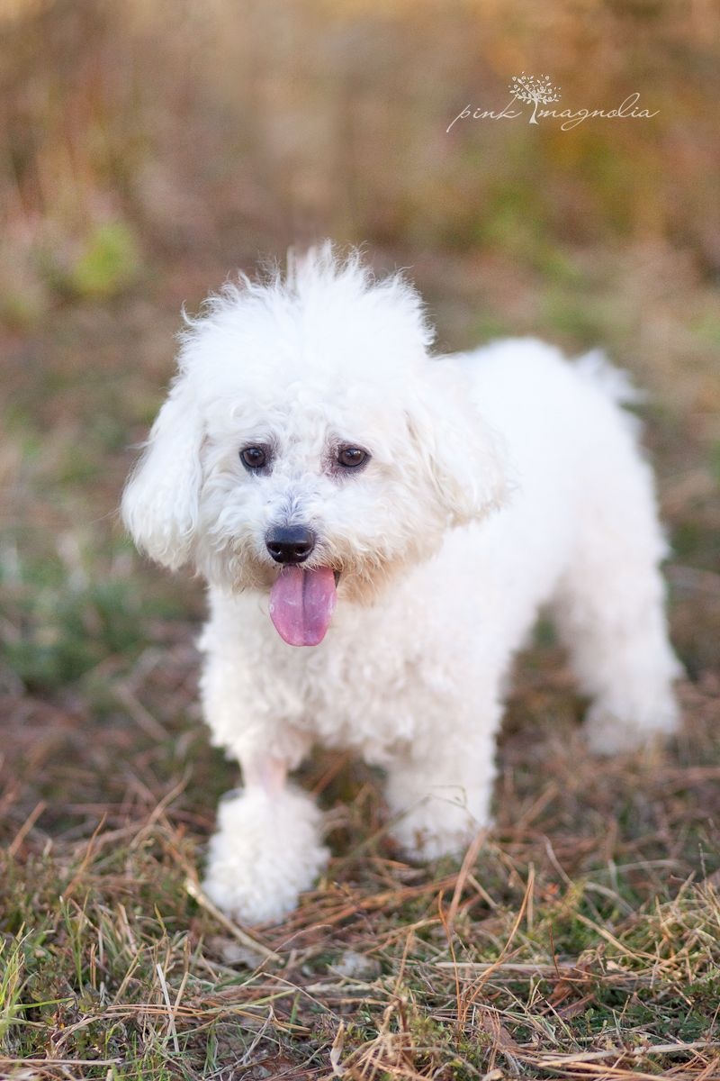 Adopted Eddie Is A Beautiful Bischon Who Is Available For