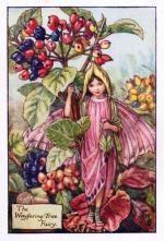 wayfaring-tree-flower-fairy-print-cicely-mary-bonimenteur