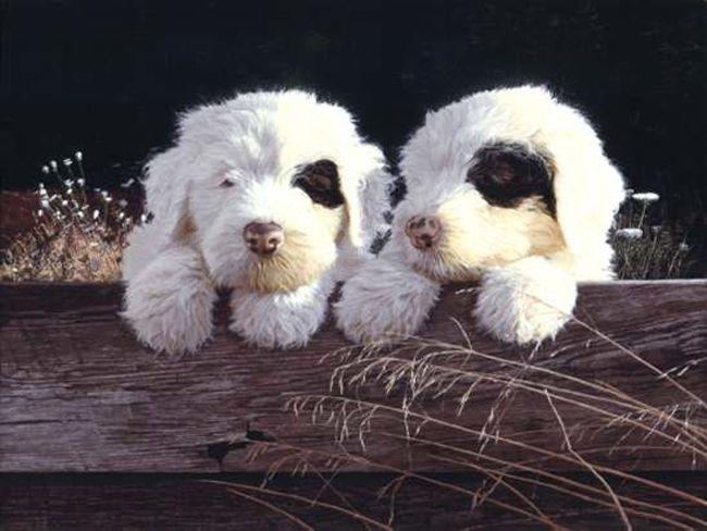 OLD ENGLISH SHEEPDOG PUPPIES John Weiss