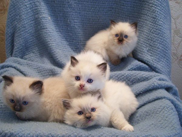 Ragalong Ragdoll Kittens For Sale From Breeders Briar Glen Farms Ragdoll Kitten Kittens Ragdoll Cat