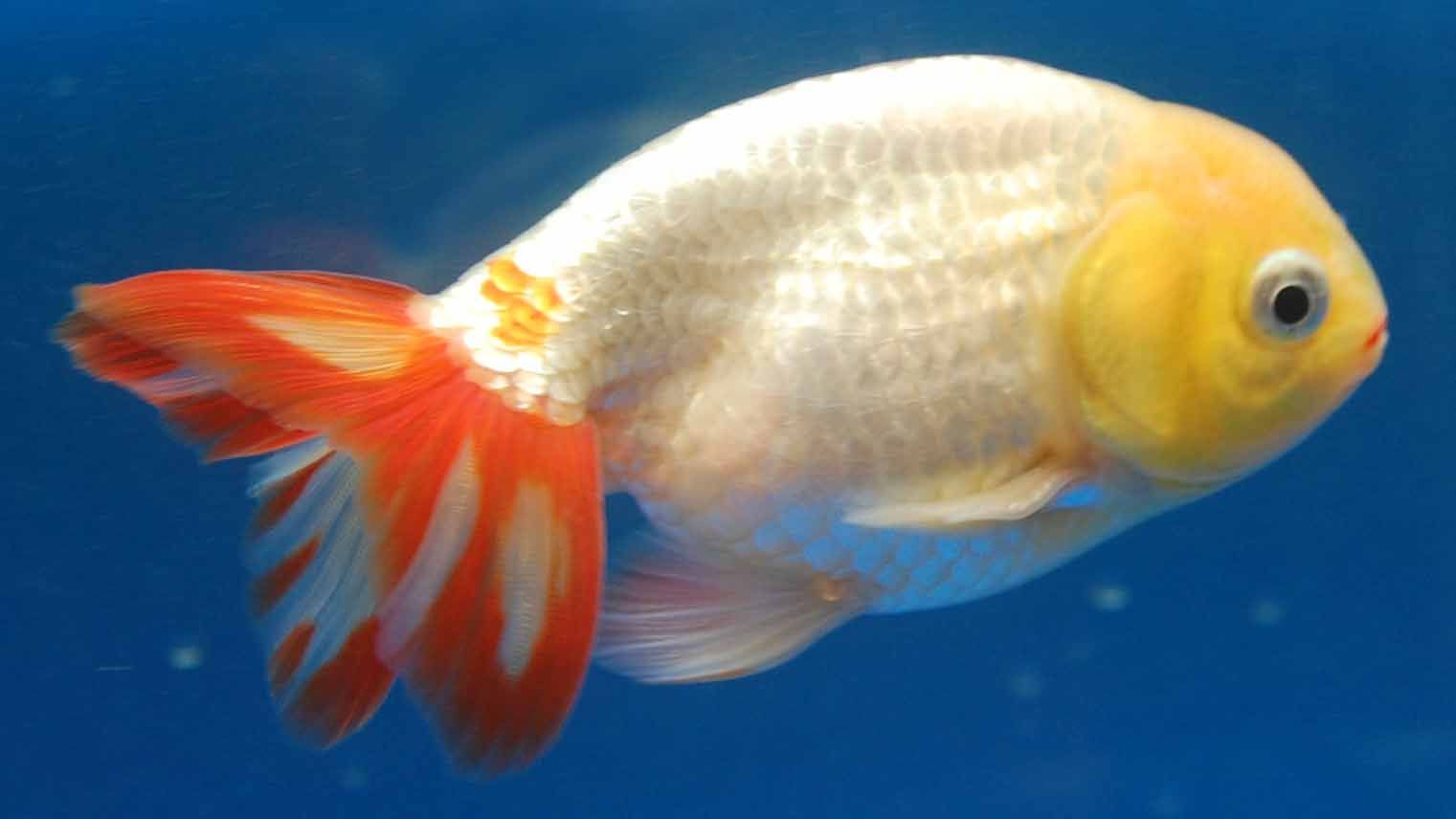 Red and white ranchu goldfish awwwww omgosh cute face for Cute freshwater fish
