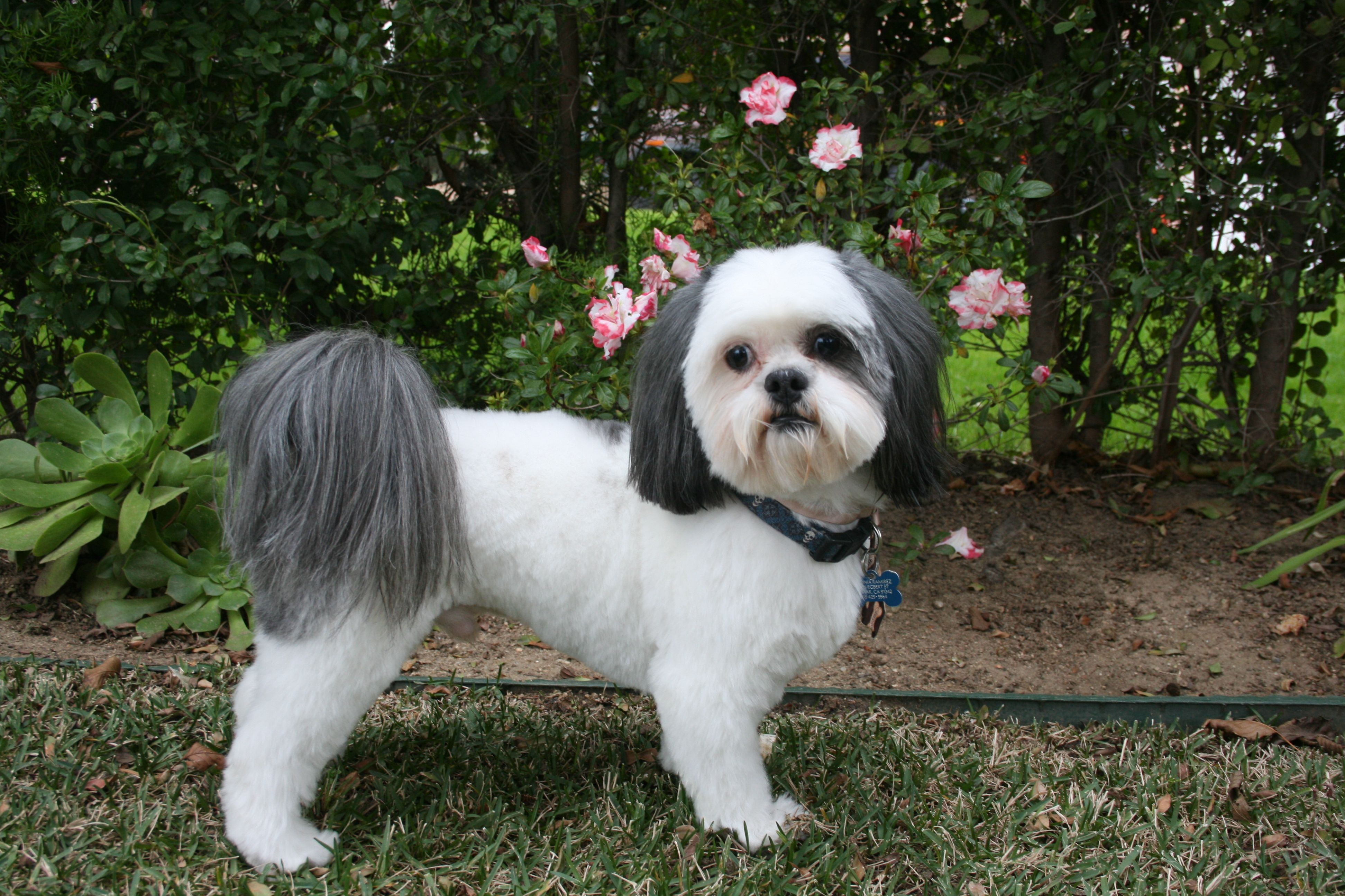 2213 with images shih tzu dallas